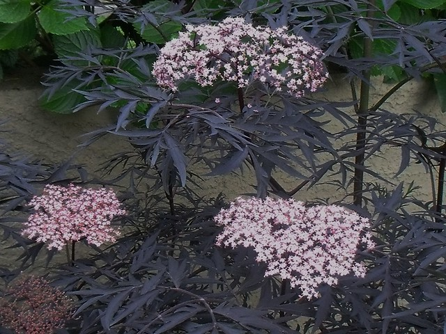sambucus nigra black lace flickr photo sharing. Black Bedroom Furniture Sets. Home Design Ideas