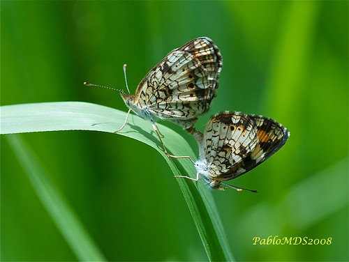 Pearl crescent - Phyciodes sp. | by  BlezSP