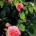 A Walk In The Rose Garden #1