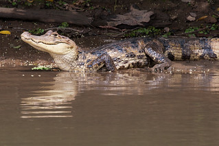 Caiman | by emivel2003
