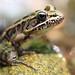 Pickerel Frog- Rana palustris (Explored)