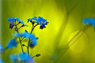 Forget Me Not | by peter murray images