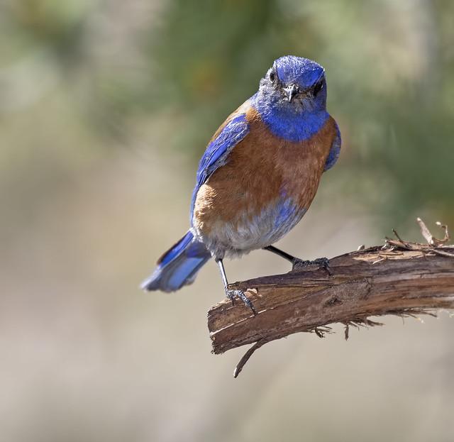 Western Bluebird 10-7D2-280616