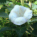 Full Bloom Datura (Angel's Trumpet)