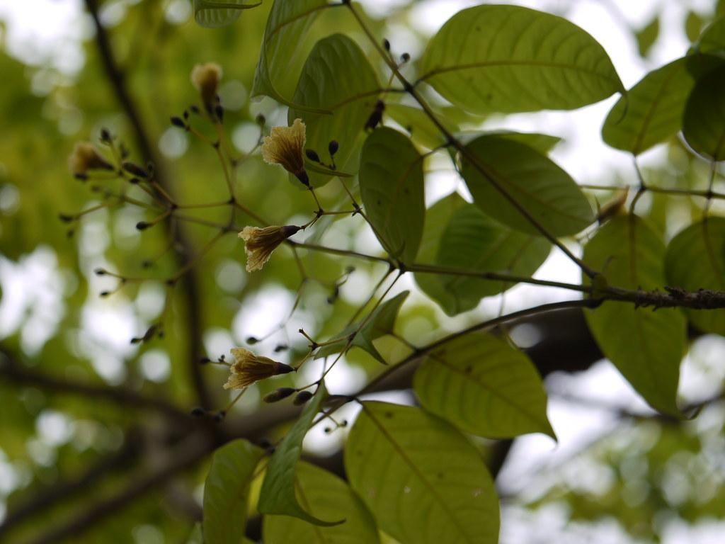 Patali Sanskrit पाटलि Bignoniaceae Bignonia