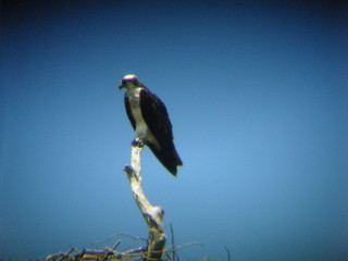 Digiscoped Osprey | by RandomConnections