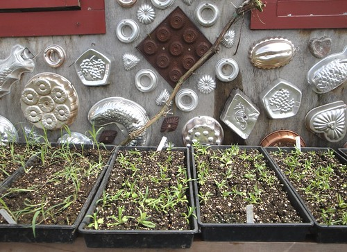 Seedlings with Jello Molds | by RHR Horticulture