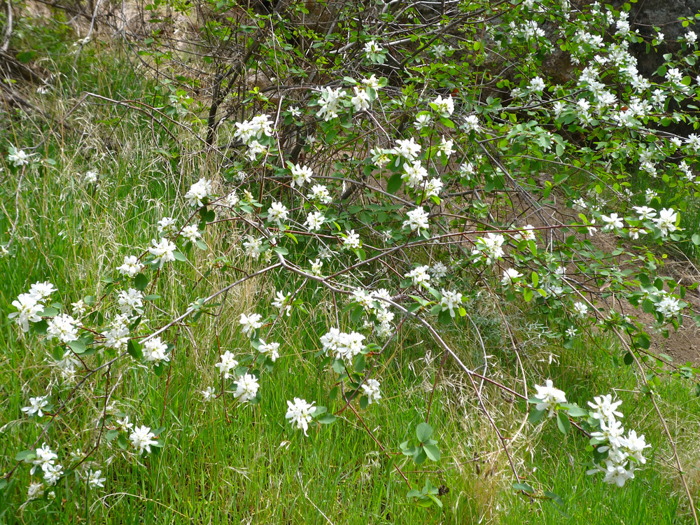 Syringa Syringa Idaho S State Flower At Jump Creek
