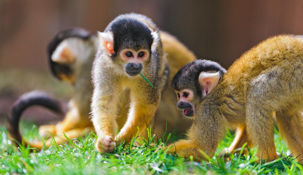 Squirrel monkeys in the grass | Two cute squirrel monkeys ...