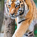Walking big Amur tiger