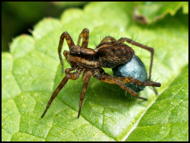 Wolf spider carrying egg sac flickr photo sharing for Garden spider egg sac