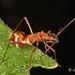 Bug - Assassin Alydid (nymph)