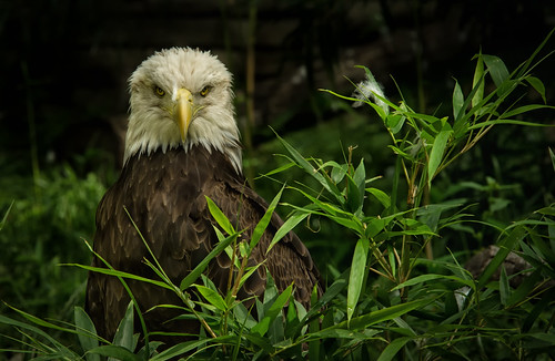 Juvenile Bald Eagle After Preening | by SCHMEGGA