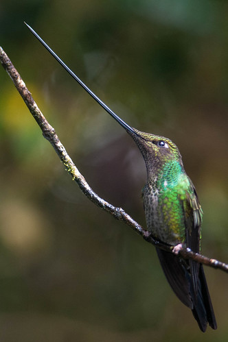 Sword-billed Hummingbird | by sjdavies1969