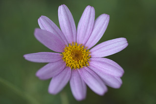 A Daisy | by MShades