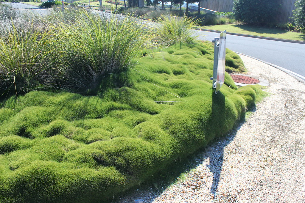 zoysia tenuifolia on a roundabout in pottsville new south flickr. Black Bedroom Furniture Sets. Home Design Ideas