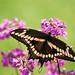 Giant Swallowtail (best on black) Explore # 403