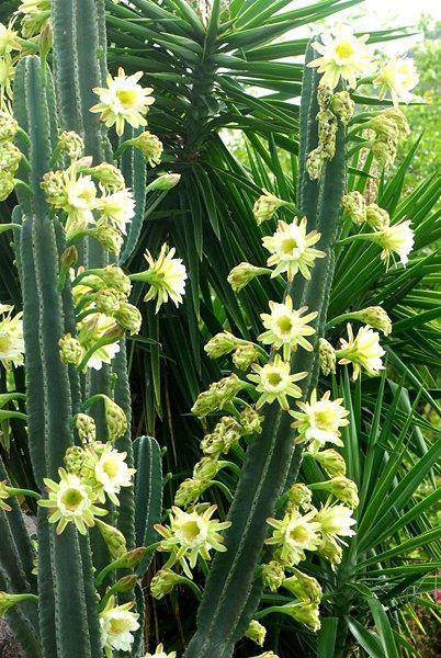 saint martin, fleurs de cactus cierge / cactus flowers | flickr
