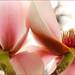 Pink Blossoms Macro