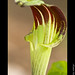 Jack-in-the-Pulpit (Arisaema triphyllum)