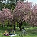 It's Raining Cherry Blossoms in Central Park