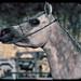 Arabian Horse Esencial