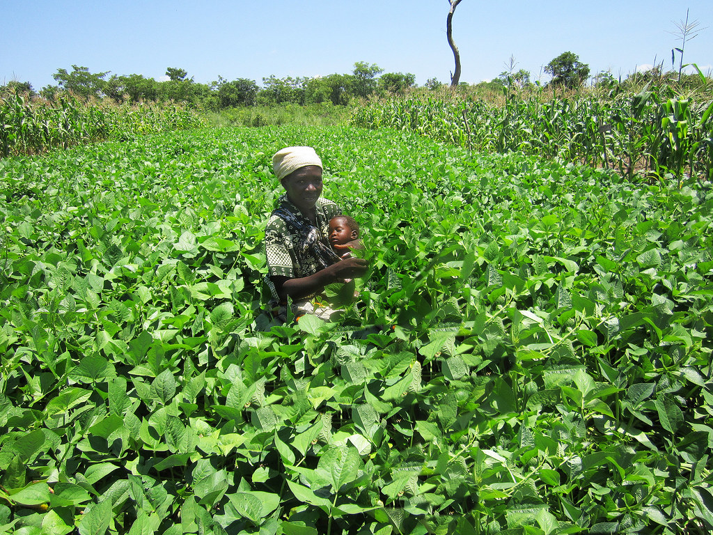 Growing Cowpeas in Mozambique | This lush cowpea field contr… | Flickr