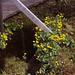 Catha palustris/populage des marais/ renonculacées