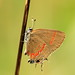Red Banded Hairstreak- Calycopis cecrops