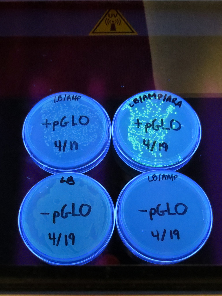 glowing bacteria lab essay example Bacteria, singular bacterium, any of a group of microscopic single-celled organisms that live in enormous numbers in almost every environment on earth, from deep-sea vents to deep below earth's surface to the digestive tracts of humans.