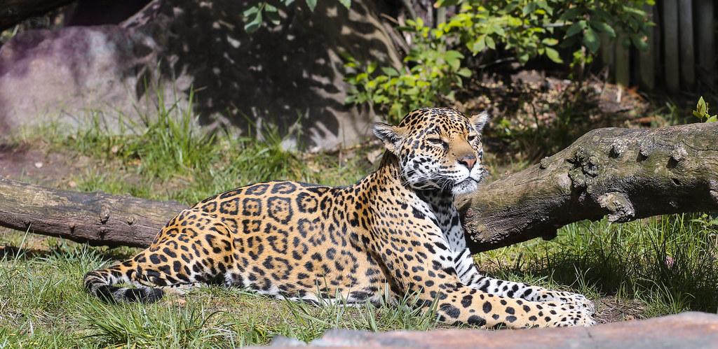 jaguar this huge cat is at happy hollow zoo in san jose. Black Bedroom Furniture Sets. Home Design Ideas