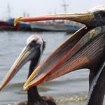 Open Wide, Paracas, Peru