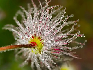 Dew Drops | by Karen_Chappell