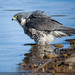 Bathing Peregrine