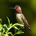 Anna's Hummingbird - Male - 0733