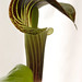 Jack in the Pulpit 5