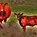 Kansas Cows