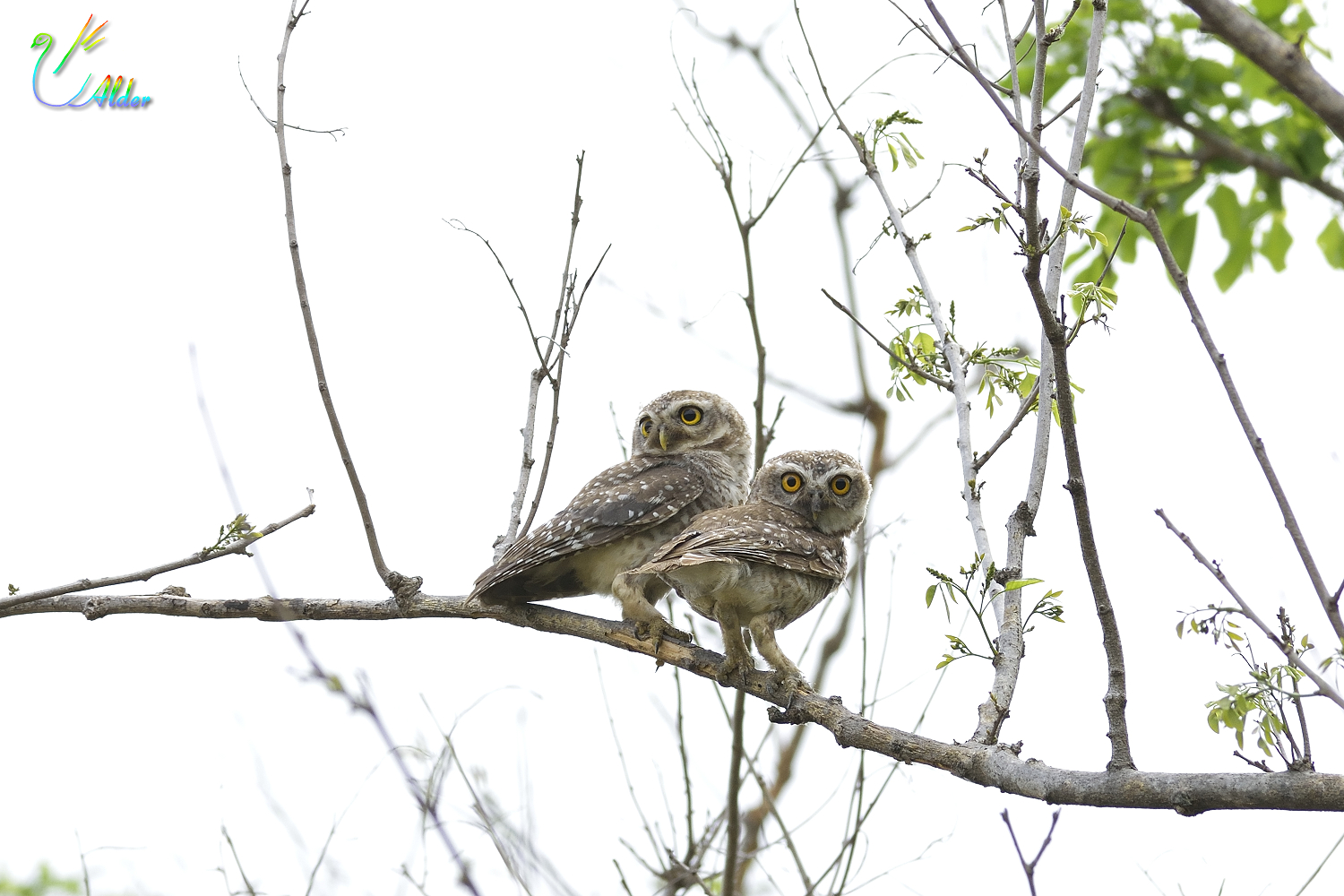 Spotted_Owlet_5985