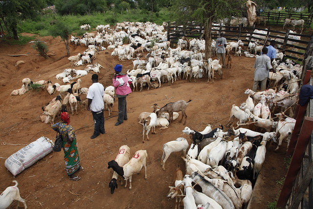 An African goat market. (Photo credit: Fulani Media, International Livestock Research Institute)