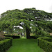 Hidcote's cedar of Lebanon (Cedrus libani)