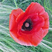 Closeup of Red Poppy