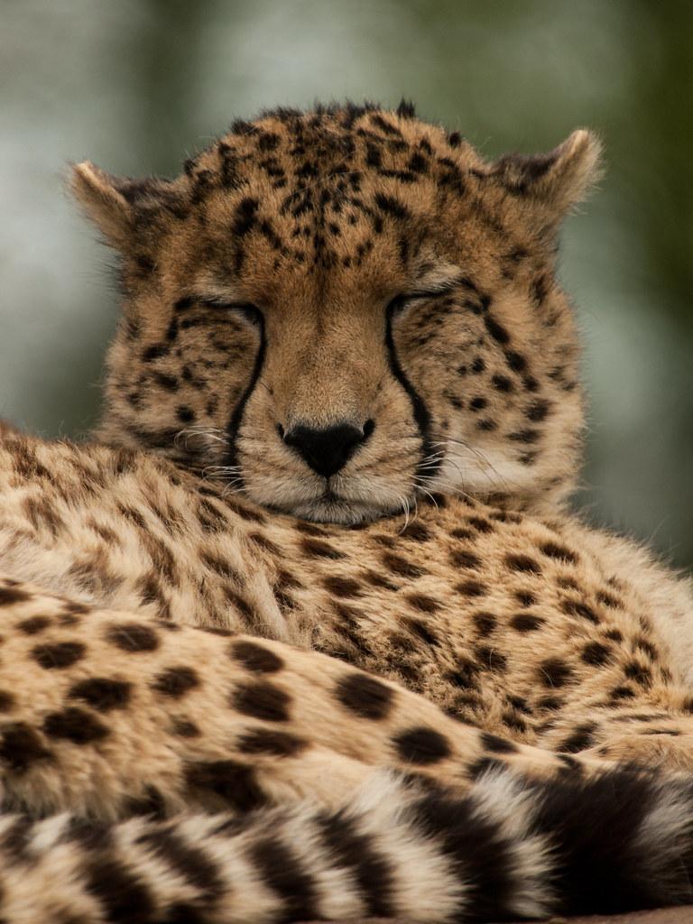 Cheetah Cheetah At Whipsnade Zoo Permission To Use