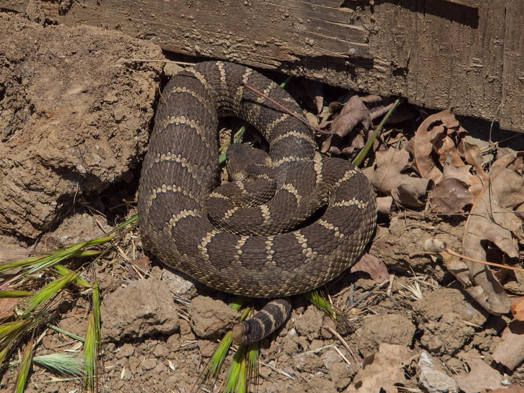 Northern Pacific Rattlesnake (Crotalus oreganus oreganus ...