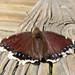 Moth on the Nisqually NWR Boardwalk