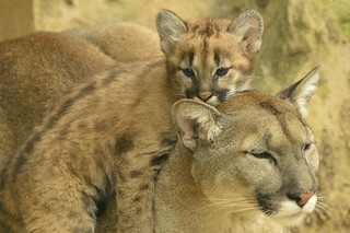 Mountain Lion Mother and Cub | by Ami 211