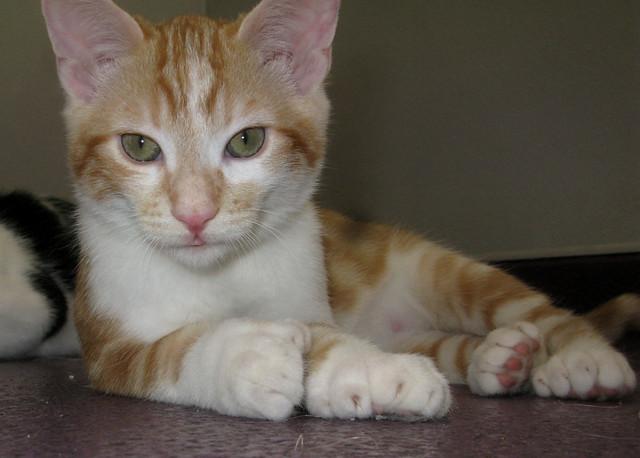 Polydactyl Kitten, Spike | Flickr - Photo Sharing!  Polydactyl Kitt...