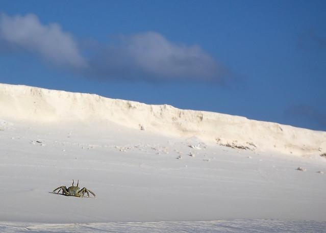 Cangrejo en actitud amenazante caminando por la orilla de la isla
