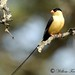 Shaft-tailed whydah 9075