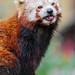 Cute red panda...