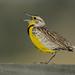 Western Meadowlark_2741.jpg